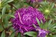 Village. Rural. Asters - Violet flowers. A bush in the flowerbed.