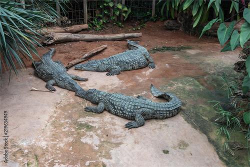 Crocodiles dans la ferme aux crocodiles à Pierrelatte dans la Drôme en France