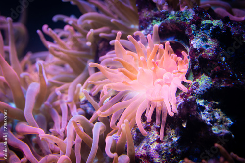 Heteractis magnifica, Colored long tentacle Anemone