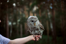 Owl, Steppe Sipuha Sitting On The Hand Of The Trainer, The Concept Of Domestication Of Wild Animals