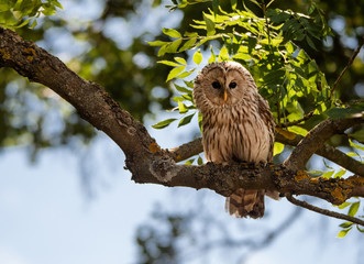 Ural owl sitting in a tree surrounded by illuminated leaves