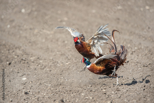 Valokuva  fight between two male angry pheasants