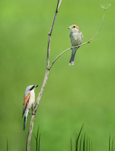 Couple Of Red-backed Shrikes Sitting On A Withered Wild Carrot On A Soft Green Background