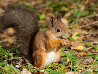 Squirrel with an acorn on the ground