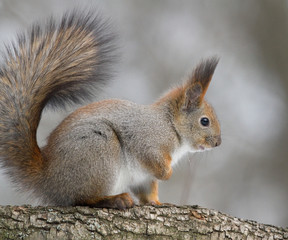 Naklejka na ściany i meble Squirrel on the branch