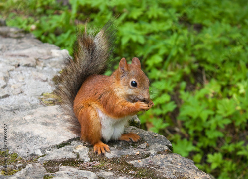 Spoed Foto op Canvas Eekhoorn Squirrel with hazelnut on the ground