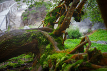 Old Fallen Mossy Tree, Foliage...