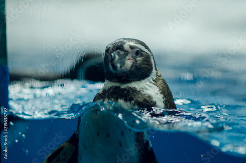 Penguin in the pond, behind the glass