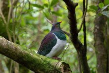 New Zealand Forest With Native Wood Pigeon