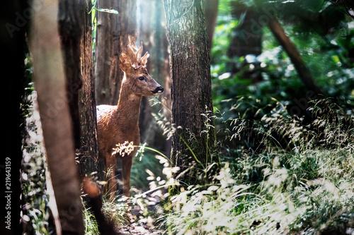 Roebuck in sunlight in woodland.