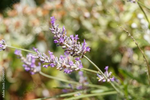 Spoed Foto op Canvas Lavendel Brin de lavande dans un jardin