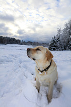 Yellow Labrador Dog Sitting In...