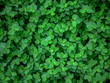 background texture green ivy bush wall in garden