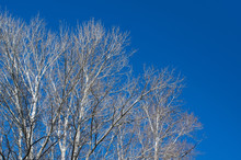 Bare Branches Tree And Blue Sky. Leafless Tree In Autumn