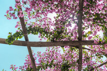 Through The Pergola With Flowers Sun Shines. Ravello. Italy.