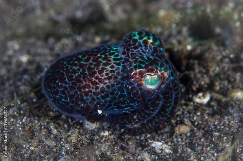 Iridescent Bobtail Squid on Black Sand in Lembeh Strait Canvas Print