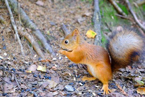 Foto op Canvas Eekhoorn Squirrel sitting on the ground. Bites the seed. Keeps front paws