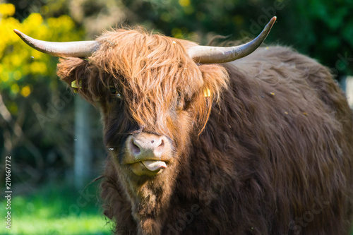 Spoed Fotobehang Schotse Hooglander Scottish Highlands cow looking at the camera.
