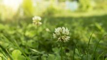 Clover Flower, Green Natural G...