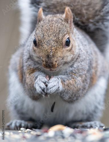 Staande foto Eekhoorn Eastern gray Squirrel eating Nuts