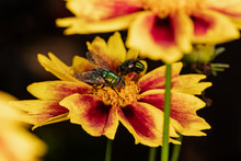 Two Flies On Coreopsis