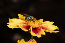 Fly On Coreopsis 2