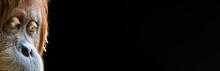 Portrait Of A Thoughtful/sad Looking Female Orangutan With Black Blank Background