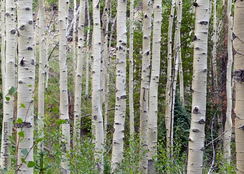 Deurstickers Berkbosje Aspen trees in forest in the mountains
