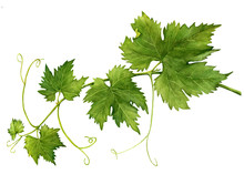 Grape Branch With Leaves Close...