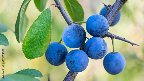 Vászonkép Group of ripe blue sloes on branch with green leaves