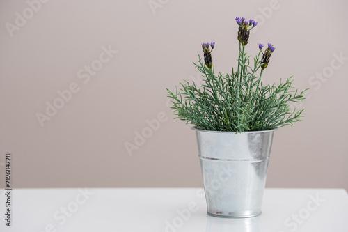 Lavender lawenda w doniczce - 219684728