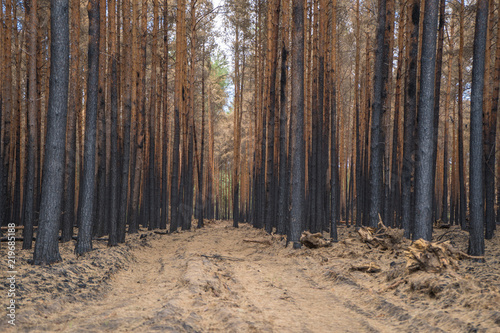 Photo  Nach Waldbrand in Fichtenwalde, Brandenburg