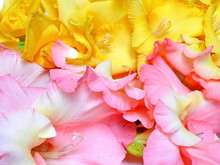 Background Of Pink And Yellow Gladiolus. Close Up