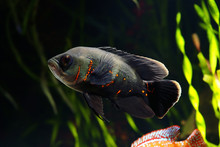 Oscar Fish (Astronotus Ocellat...