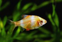Tiger Barb Or Sumatra Barb Glofish (Puntius Tetrazona)