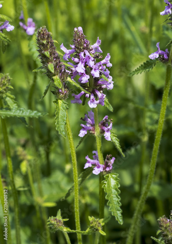 Betony (Stachys officinalis) flowers Wallpaper Mural