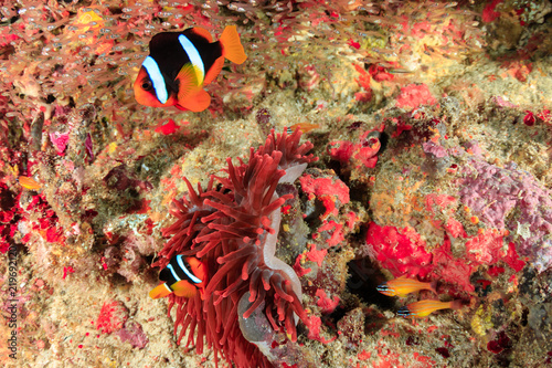 Valokuvatapetti Banded clownfish in an unusual red anemone on a tropical coral reef