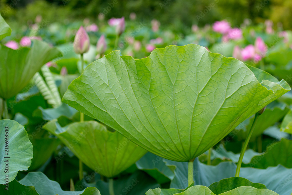 Underside Of A Beautiful Green Lotus Flower Leaf At Kenilworth