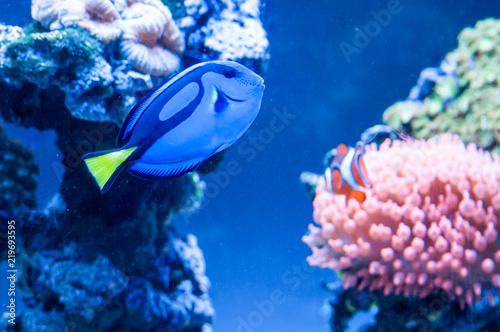 Fotografie, Tablou  Paracanthurus hepatus, beautiful blue fish swimming in the aquarium with royal c