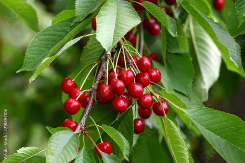 Kirschen am Baum, Prunus avium