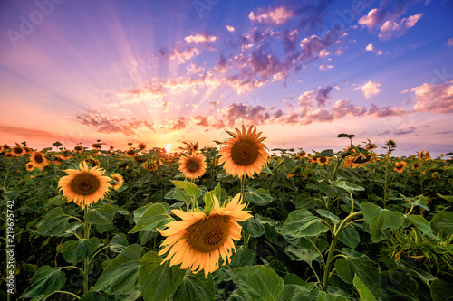 Garden Poster Light pink Summer landscape: beauty sunset over sunflowers field