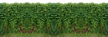 Seamless Pattern Over Horizontal Texture Fence Vine Ivy Isolate White Background Natural Photo