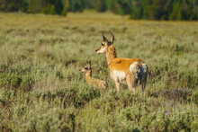 An American Pronghorn Deer, Also Called Prong Buck, Pronghorn Antelope, Prairie Antelope; With Her Young Fawn, Seen In The Grand Tetons.