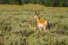An American Pronghorn Deer, Al...