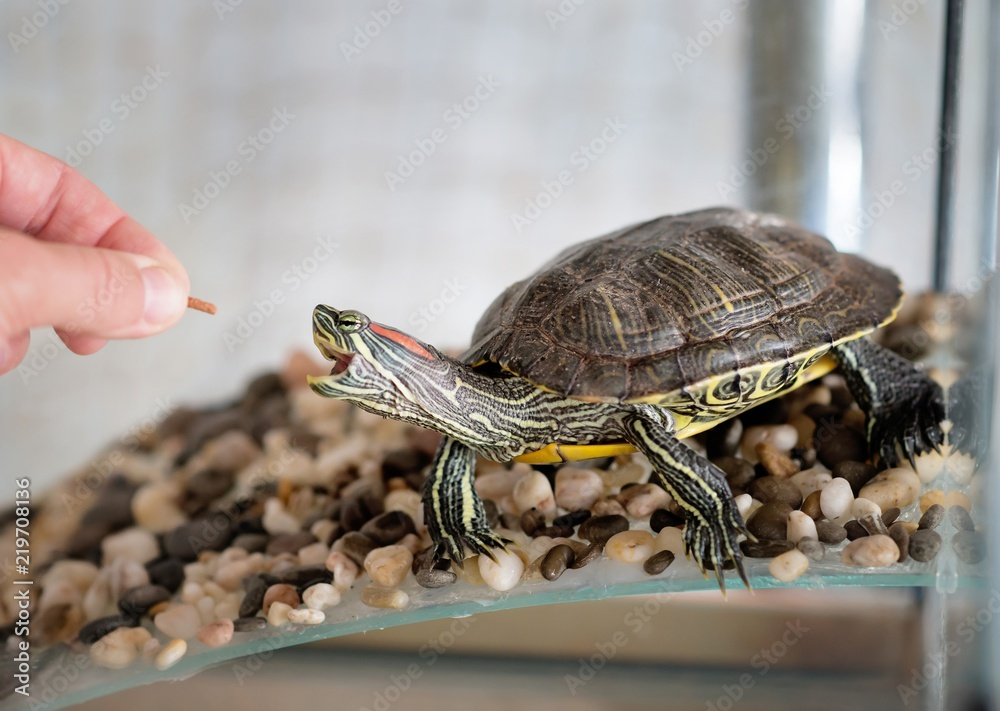 Domestic turtle eats, feeding. Pet