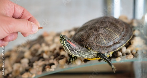 Domestic turtle eats, feeding. Pet