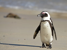 African Penguin At Sunrise On ...