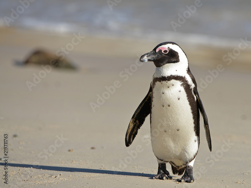 Fotografiet African penguin at sunrise on Boulders Beach, Cape Town, South Africa