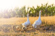 White Geese Family Walking At ...