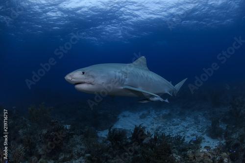 Obraz na dibondzie (fotoboard) Tygrysiego rekinu Pływać podwodny w Atlantyckich ocean Bahamas